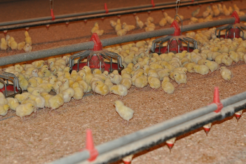 neufeld-farms-chicks