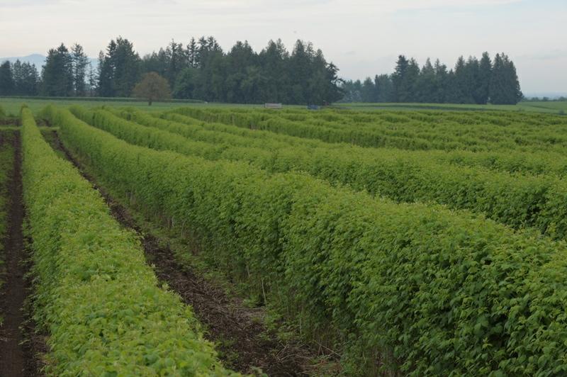 neufeld-farms-raspberries