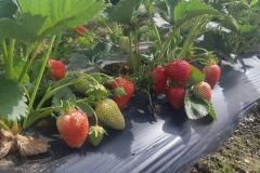 20200528_092518.jpg-rows-of-strawberries-1024x498