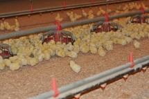 neufeld-farms-chicks
