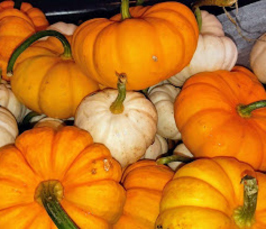 Neufelds Mini Pumpkins